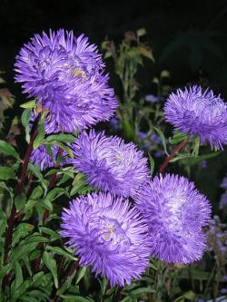 botanical garden, munich, summer, purple asters, plant