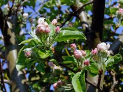 branch, apple blossom, bud, pink, nature
