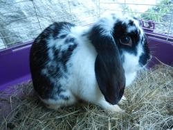 bunny rabbit, animals, black and white, pet