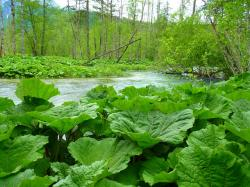 butterbur, leaves, large, nature, water