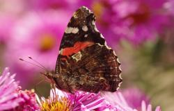butterfly, flower, spring, close, macro, pink, aster