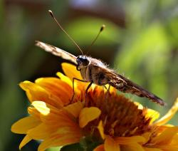 butterfly, insect, flower, yellow, nature, macro