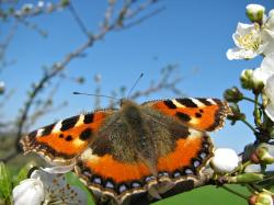 butterfly, insect, insects, nature, tree, blossom