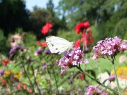 butterfly, insect, white, flowers, pink, nature