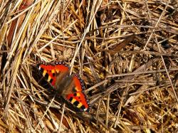 butterfly, insects, hay, milbert, animal, arthropod