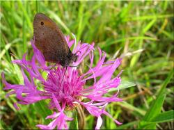 butterfly, meadow, nature, flower, close