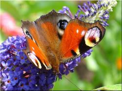 butterfly, meadow, peacock butterfly, summer, close
