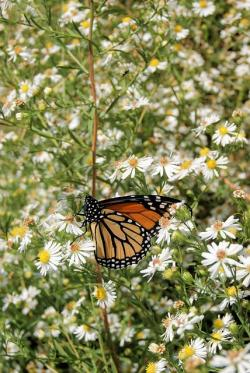 butterfly, monarch, white, wildflowers