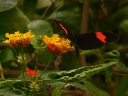 butterfly, small postbote, heliconius erato, black, red