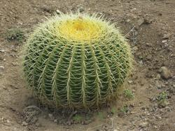 cactus, prickly, plant, spur, about, spherical