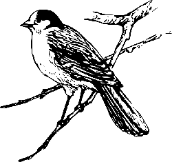 canada, bird, branch, wings, tail, feathers, jay