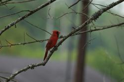 cardinal, birds, north, america, tennessee, spring