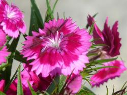 carnation, flower, bush elke, pink, flora, plant