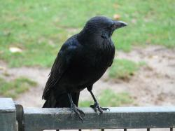 carrion crow, corvus corone, crow, raven bird, songbird