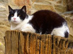 cat, black, white, animal, pet
