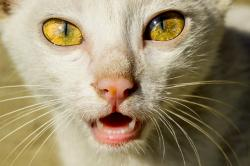 cat, cat face, cat's eyes, animal, pet, yellow, eyes