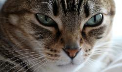 cat, domestic cat, cat's eyes, relax, chill out, nose
