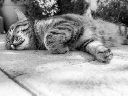 cat, tiger, animal, sleep, lazy, rest, relax, chill out