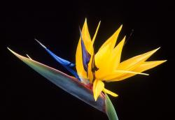 caudata, flower, bird of paradise flower, strelitzia