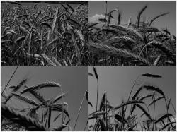 cereals, wheat, grain, black, white, black and white
