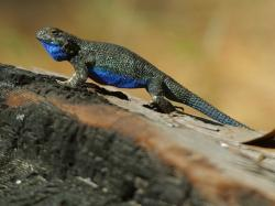 chameleon, blue, color, lizard, reptile, creature