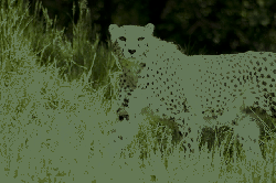 cheetah, predator, cat, fur, hair, pattern, points