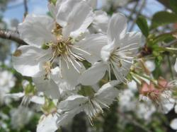 cherry blossom, spring, flower, blossom, bloom, easter