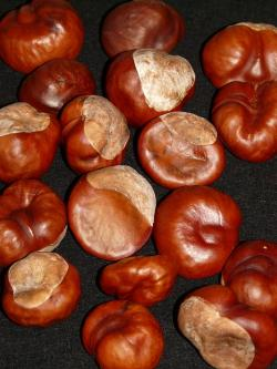 chestnut, nut, brown, autumn, tinker