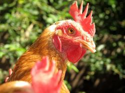 chicken, poultry, pets, farm, animal