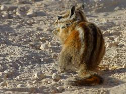 chipmunk, squirrel, nager, tail, rodent, cute, fur