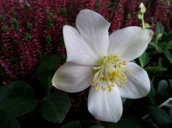 christmas rose, christmas, white, white flower