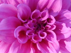 chrysanthemum, pink, flower, bright, nature