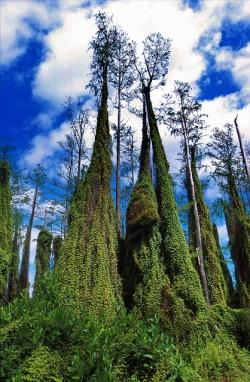 climbing fern, florida, trees, nature, outside, sky
