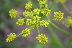 close-up, flowers, garden, leaves, parsnip, pastinaca
