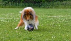 collie, rough collie, dog, pet, canine, breed