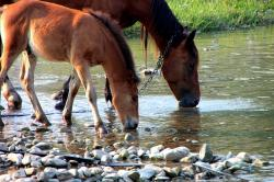 colt, countryside, drinking, foal, horse, mare, river