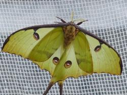 comet moth, butterfly, large, eyespots, points, eyes