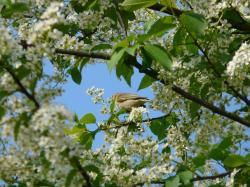 common bird cherry, black cherry, tree, flowers, white