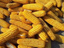 corn, grains, harvest, fall, food, healthy, vegetarian