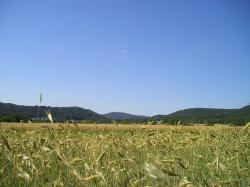 cornfield, nature, palatinate, germany