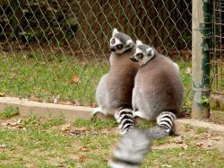 couple, lemur, zoo, animals
