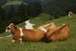 cow, animal, relaxed, alm, kampenwand, summer, alpine
