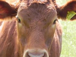 cow, brown, country, moo, animal, farm, beef
