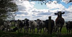 cow, cows, cattle, farm, animals, agriculture, sky