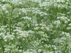cow parsley, flower, white, wild temulum