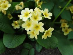 cowslip, yellow, plant, bloom, garden, spring