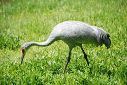 crane, sandhill crane, waterfowl, illinois, bird