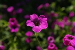 cranesbill, flower, pink, plant, purple, red