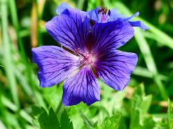 cranesbill, flower, stamp, plant, violet, purple