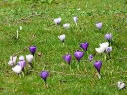 crocus, plant, garden, flowers, spring, meadow